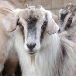 коза - поставщик кашемира