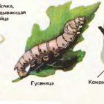 цикл жизни тутового шелкопряда