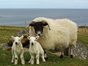 шотландская овца