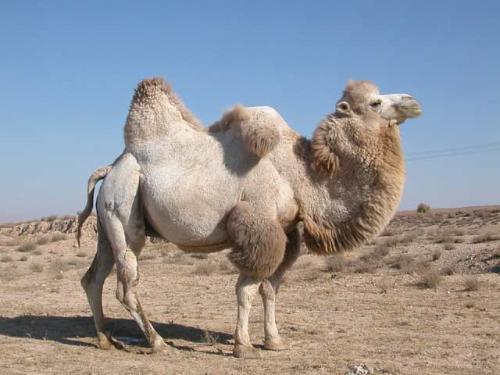 верблюд двугорбый